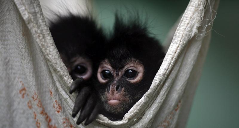 Перевозка обезьян