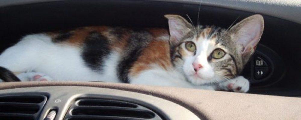 Как приучить кошку путешествовать на автомобиле?